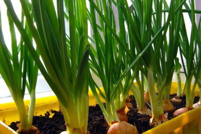 На сегодняшний день существует большое разнообразие сортов зеленого лука и несколько способов посадки
