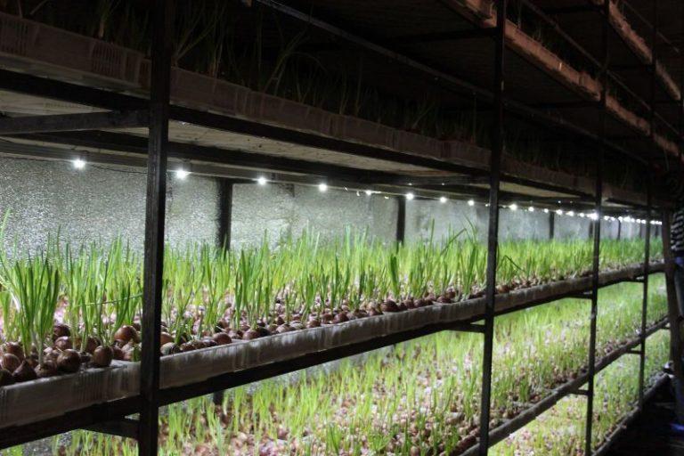 Для тепличного выращивания лучше всего использовать сорта зеленого лука, которые позволяют получить неплохой урожай, например, Спасский и Троицкий