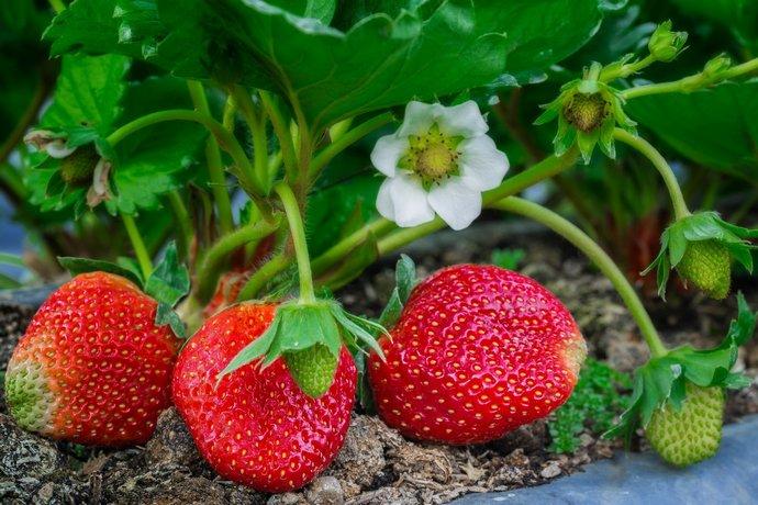 Даже ранние сорта клубники и земляники не будут плодоносить в начале июня