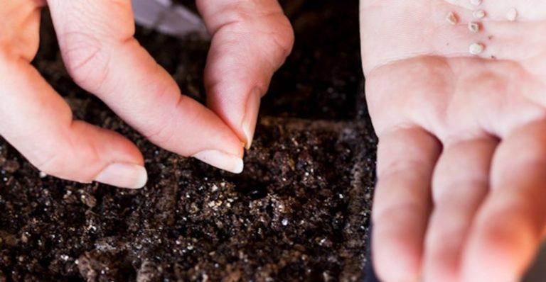 Посадить семена можно в начале января, чтобы получить к марту большие кустики