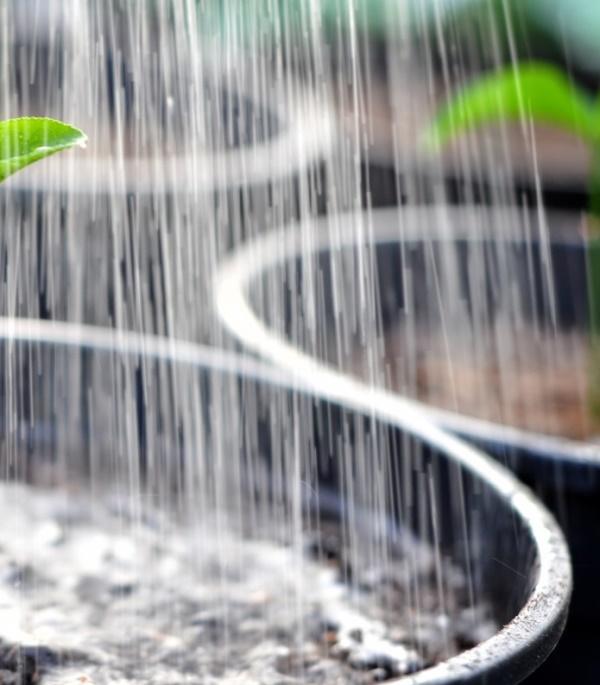 Помидоры поливают в бочке регулярно, не давая почве пересыхать. Воду льют не под корень, а по краям, чтобы формировалась крепкая, развитая корневая система