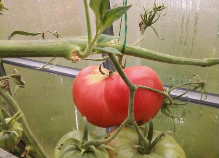 Помидоры этой коллекции за короткий срок стали одними из лидеров рынка производства томатов
