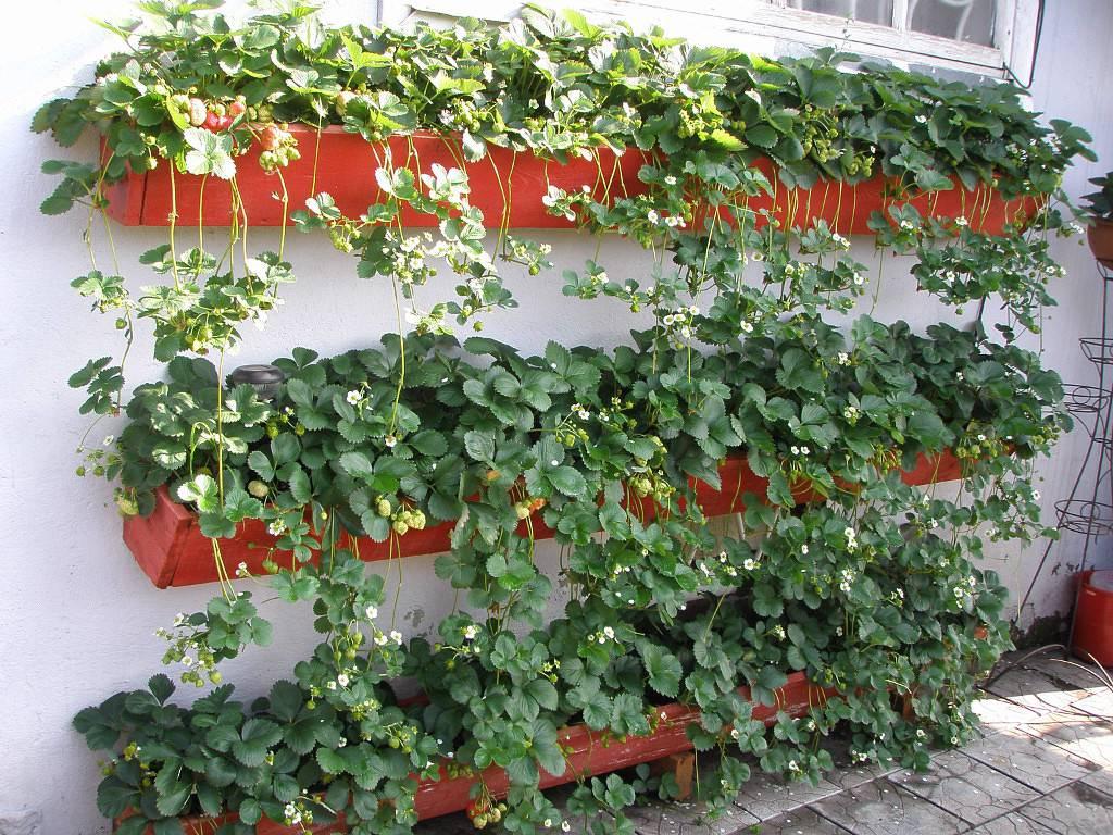 Клубника в горшках: выращивание из семян, рассады, уход, фот.