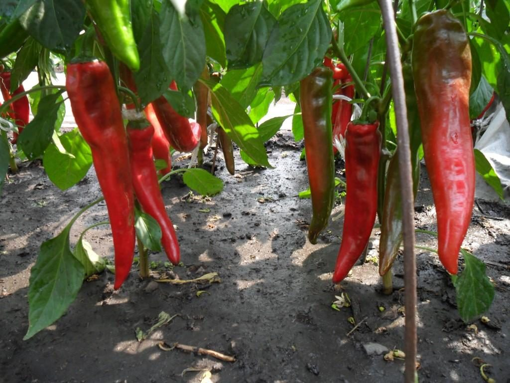 Перец выращивание 91