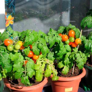 Помидоры на балконе или подоконнике зимой: выращивание, уход.