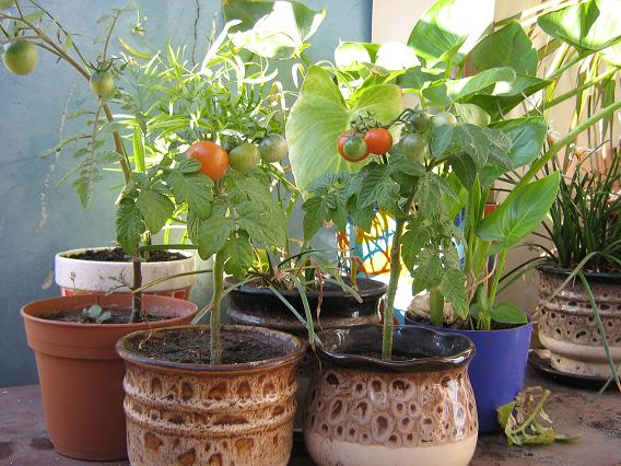 Помидоры на балконе: выращивание пошагово, как ухаживать, оп.