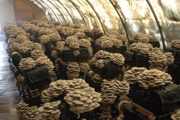 каким методом можно вырастить грибы вишенки в домашних условиях
