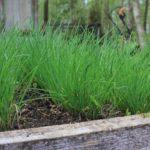 Технология выращивания лука из семян на перо 98