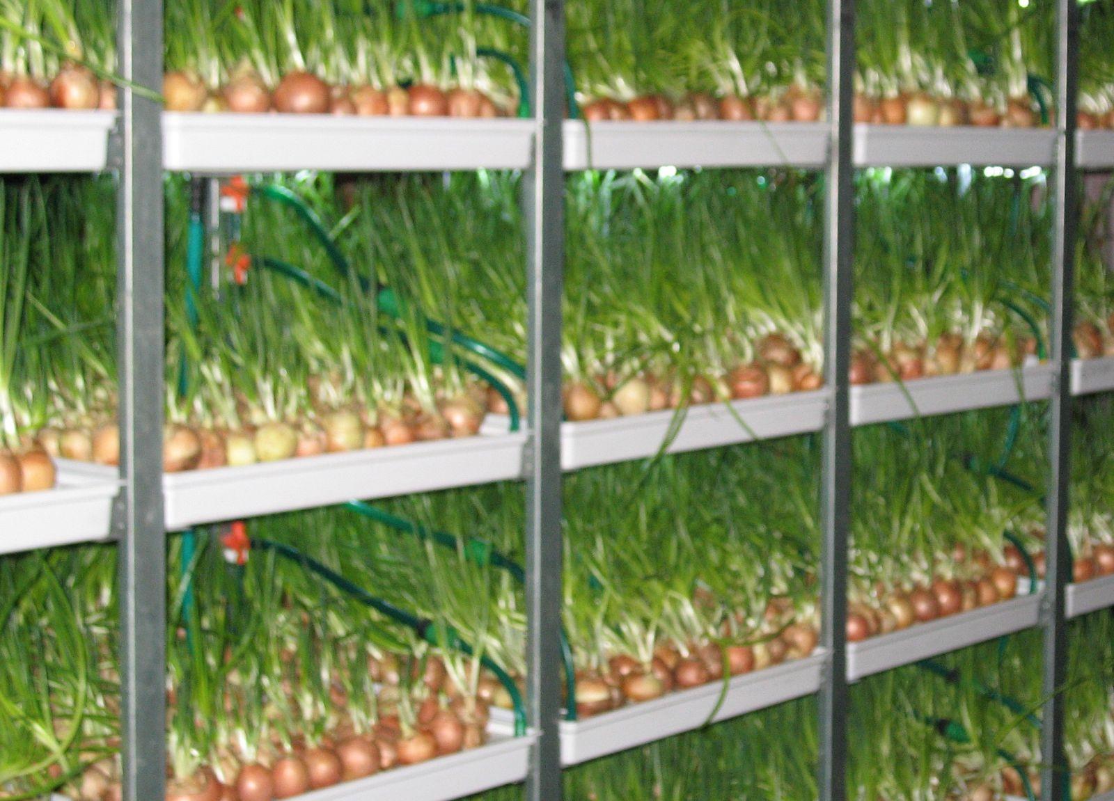 Выгодно ли торгавать укропом выращивая его дома может