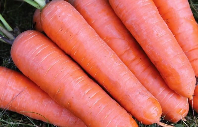 Фермерру выращивание моркови 51